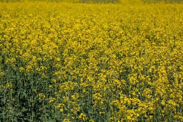 노란 꽃밭 풍경