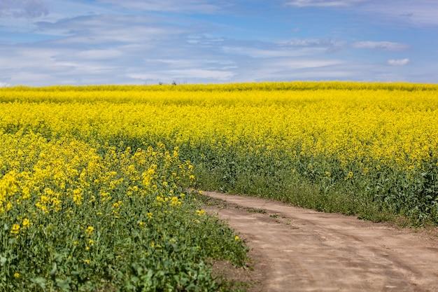 중간에 길이 있는 푸른 하늘 풍경이 있는 노란색 꽃밭
