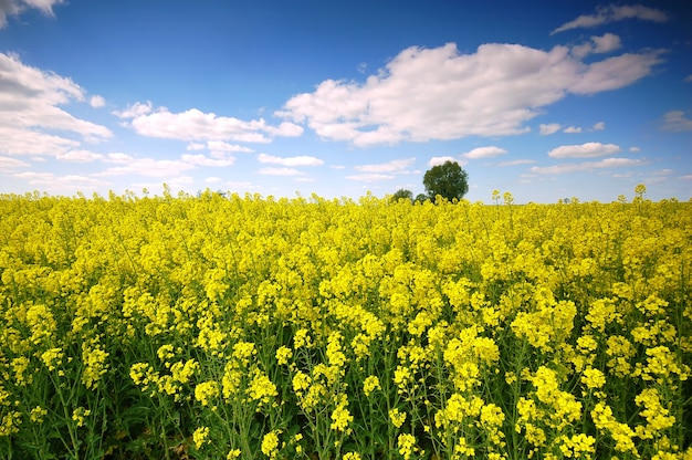 Yellow flowers in a field with clouds