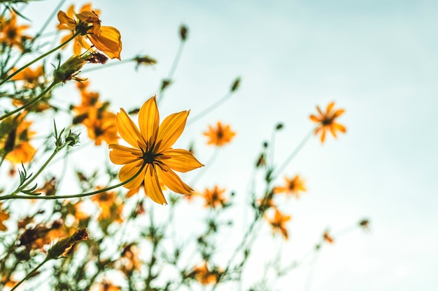 Yellow flowers in a garden of the nature with blue sky
