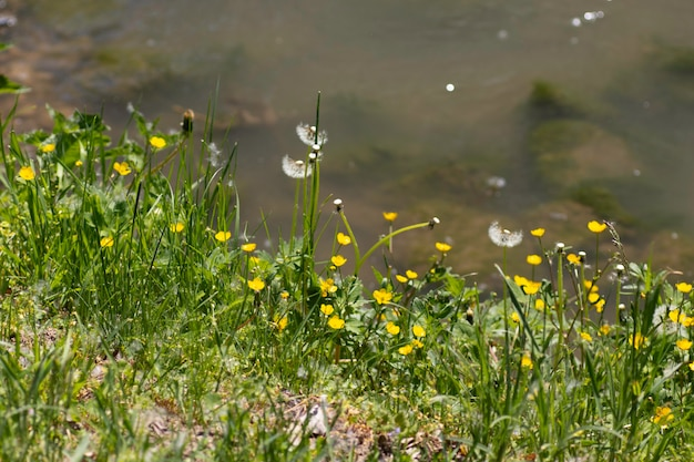 Yellow flowers and green grass on the river bank on a summer day