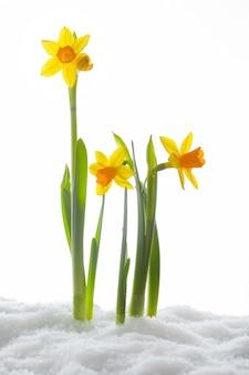 Желтые цветы, растущие в снегу