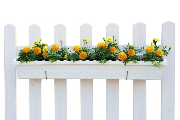 녹색 잎, 고립 된 식물 울타리에 흰색 냄비에 노란색 꽃