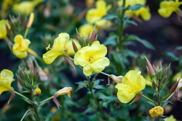 庭の月見草の黄色い花