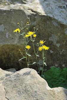 Hawksbeard (crepis biennis)의 노란색 꽃. 암석 사이의 식물의 생명.