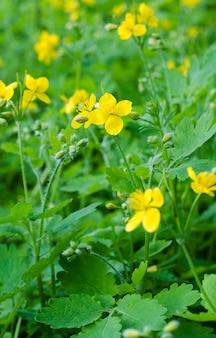 Желтые цветы чистотела лекарственного весной