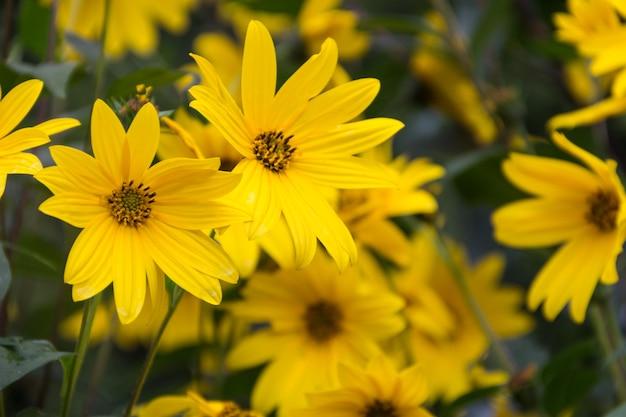 정원 해바라기, helianthus tuberosus 또는 예루살렘 아티 초크의 노란 꽃