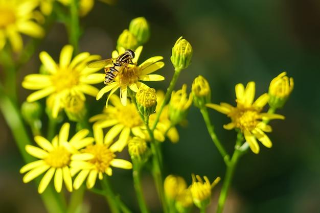 꽃과 흐림에 곤충 꿀벌과 녹색 배경에 노란색 꽃. 야생화.