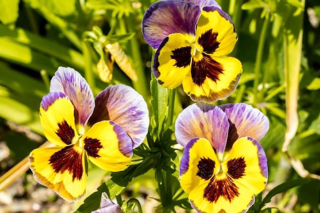 黄色い花パンジービオラ。美しい花の背景。閉じる