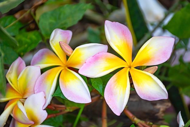 Yellow flowers or plumeria obtusa in garden.