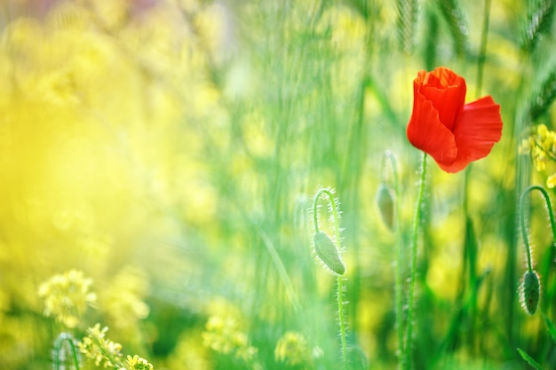 Yellow flowers and red poppies in the field.