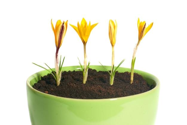 分離された植木鉢の緑の葉と黄色い花サフランクロッカスサティバス