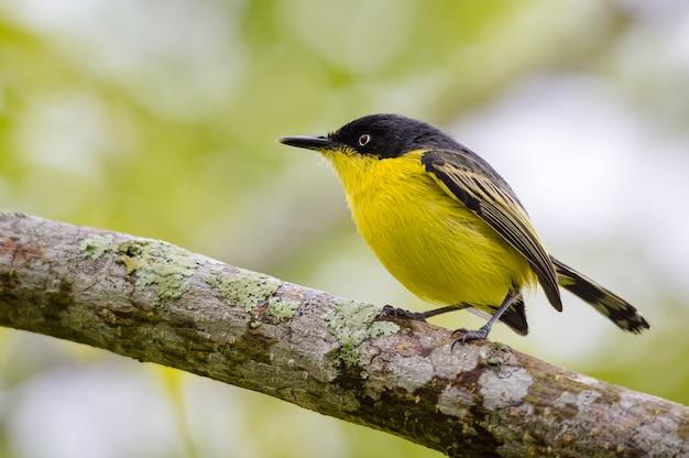 나무 위에 음식을 찾아 노란색 새
