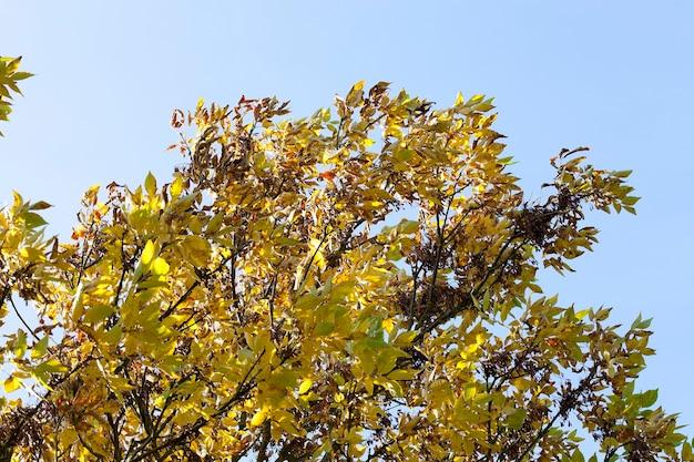 Желтая листва и темные семена ясеня в осеннем парке