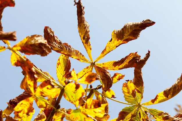 Yellow foliage of chestnut during leaf fall. autumn season