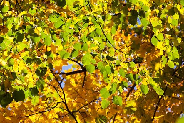 Yellow foliage of a linden tree during leaf fall. autumn season