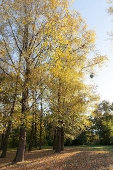 Желтая листва клена во время листопада. осенний сезон