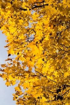 Желтая листва клена в осенний сезон