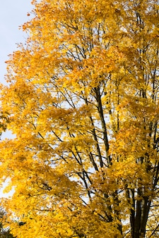 Желтая листва клена