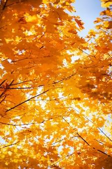 Желтая листва на дереве в парке. осенние листья на солнце. осенний фон