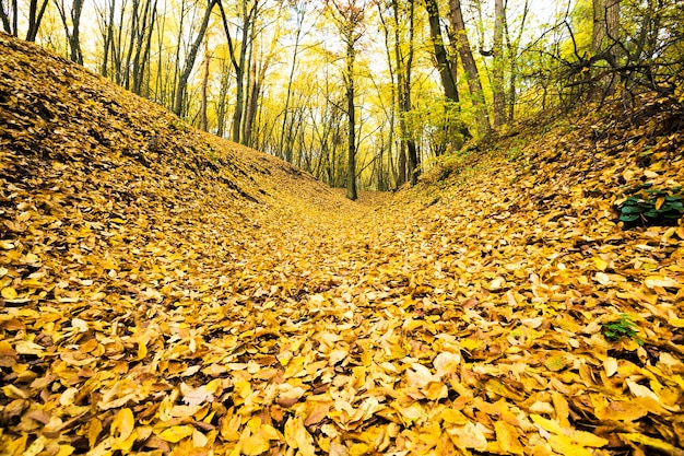 Yellow foliage of trees on the soil after leaf fall, autumn real nature in the forest