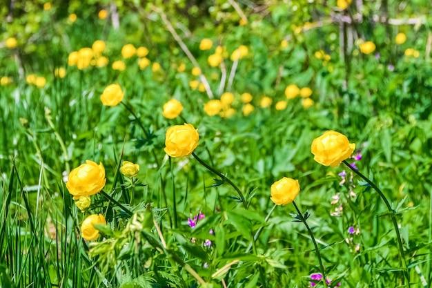 Желтые лесные цветы растут на поляне в густой траве