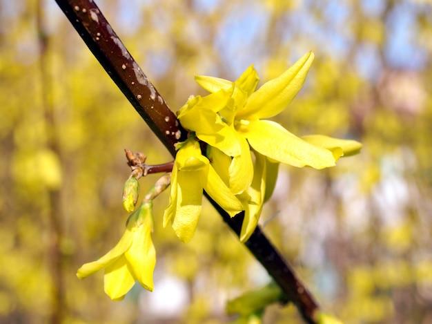 Yellow forsythia flowers