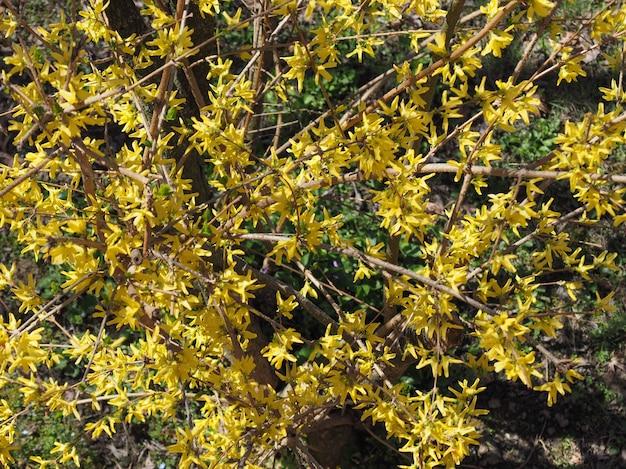 Цветок желтой форзиции (forsythia x intermedia)