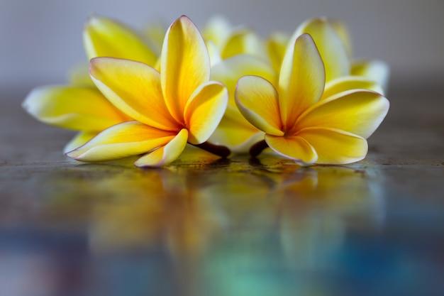 Yellow frangipani plumeria flowers on blue table.