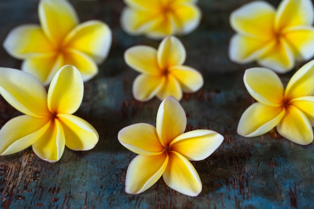Yellow frangipani (plumeria) flowers on dark blue wooden background