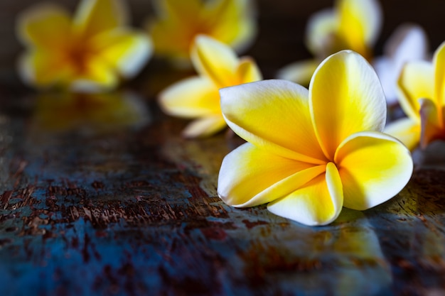 Yellow frangipani plumeria flowers on dark blue wooden rustic table.