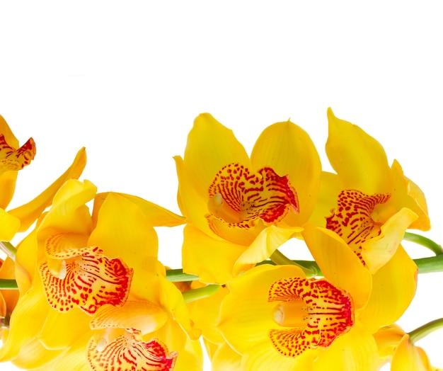 白い背景で隔離の黄色の新鮮な蘭の花のボーダー