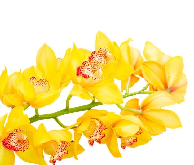 黄色の新鮮な蘭の花の茎は白い背景で隔離