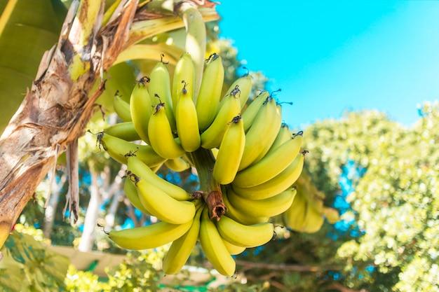Желтые свежие зрелые бананы вися, растя на ладони бананового дерева в азии, вьетнам. гроздь, ветка выращивания бананов в саду или на плантации. веганские, вегетарианские фрукты. писанг авак бананы в таиланде