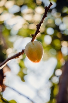 낮 동안 갈색 나뭇 가지에 노란색 과일