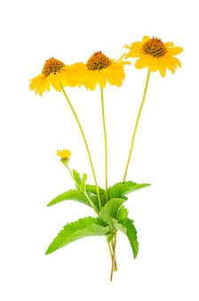 Yellow garden flowers isolated on white background.