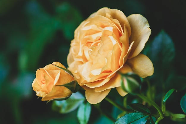 Желтая садовая роза с бутонами в летнем розарии
