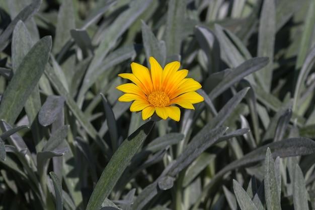 分離されたシルバーグリーンの葉が咲く黄色のガザニアの花