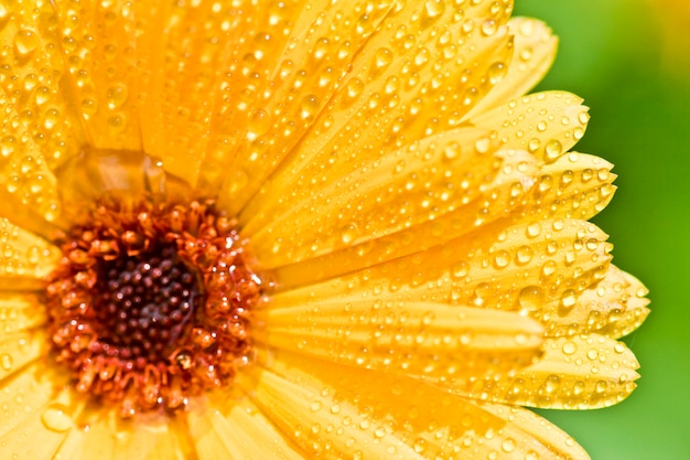 Yellow gerber flower with water drops.
