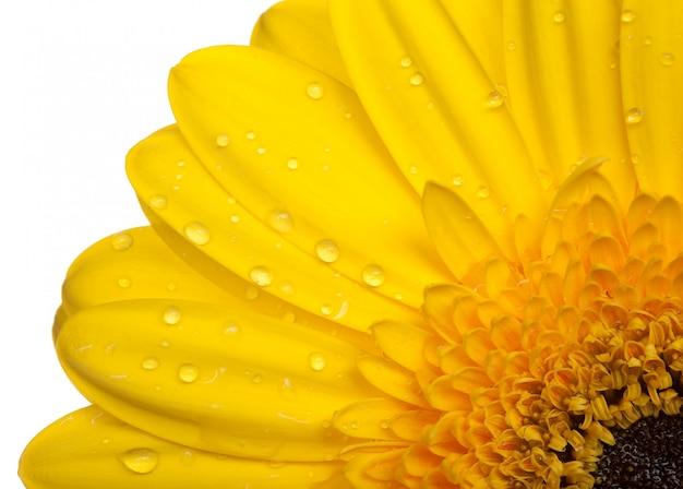 Желтый гербер на белом
