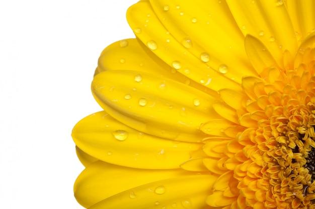 Yellow gerber on white