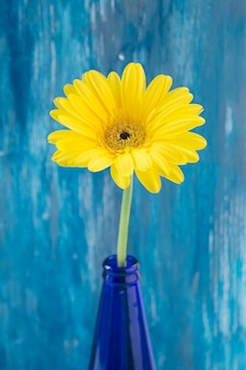Yellow gerbera flower in blue bottle against painted wall