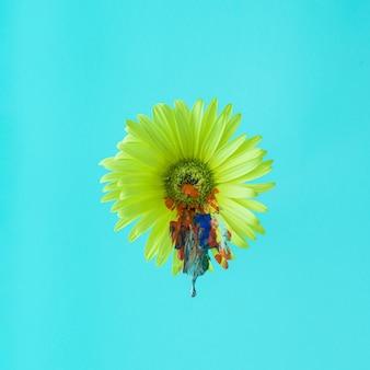 여러 가지 빛깔로 덮인 노란 거베라 꽃. 네온 블루 배경 색상입니다. 봄 정물 개념입니다.