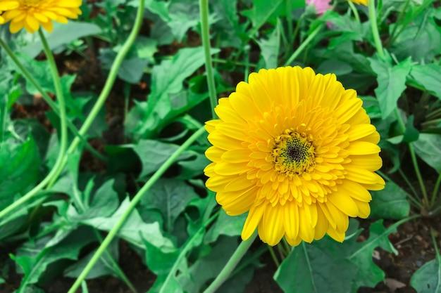 Желтая гербера растет в саду