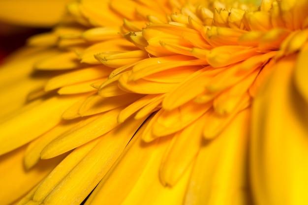Yellow gerbera macro