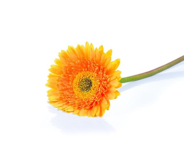 Желтая гербера, трансваальская ромашка или цветок маргаритки барбертон