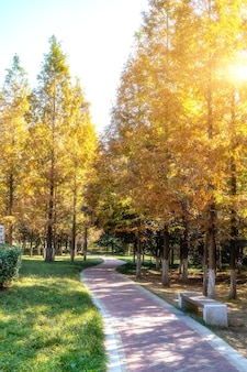 Yellow ginkgo forest in jinqiu park