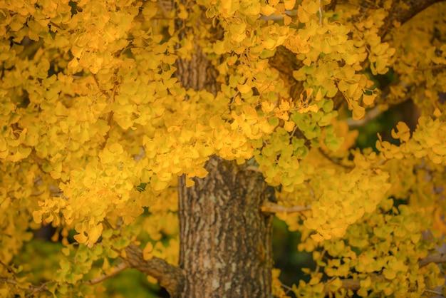 日本の秋の季節に木の上の黄色い銀杏の葉。 Premium写真