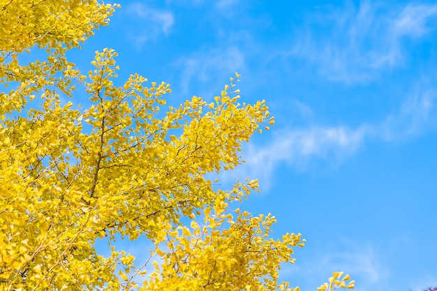 Yellow ginkgo leaf tree