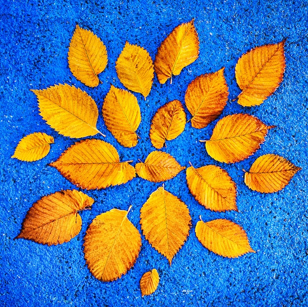 Yellow ginkgo leaves on blue background